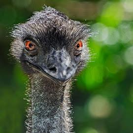 Ostrich Smile by Joan Sharp - Animals Birds ( green bokeh backdrop, golden eyes, ostrich, black, birds,  )
