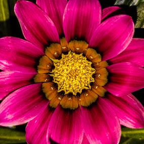 Garden Flower by Anne LiConti - Flowers Single Flower ( #, #macrophotograohy, #singleflower, #macro, #flower,  )