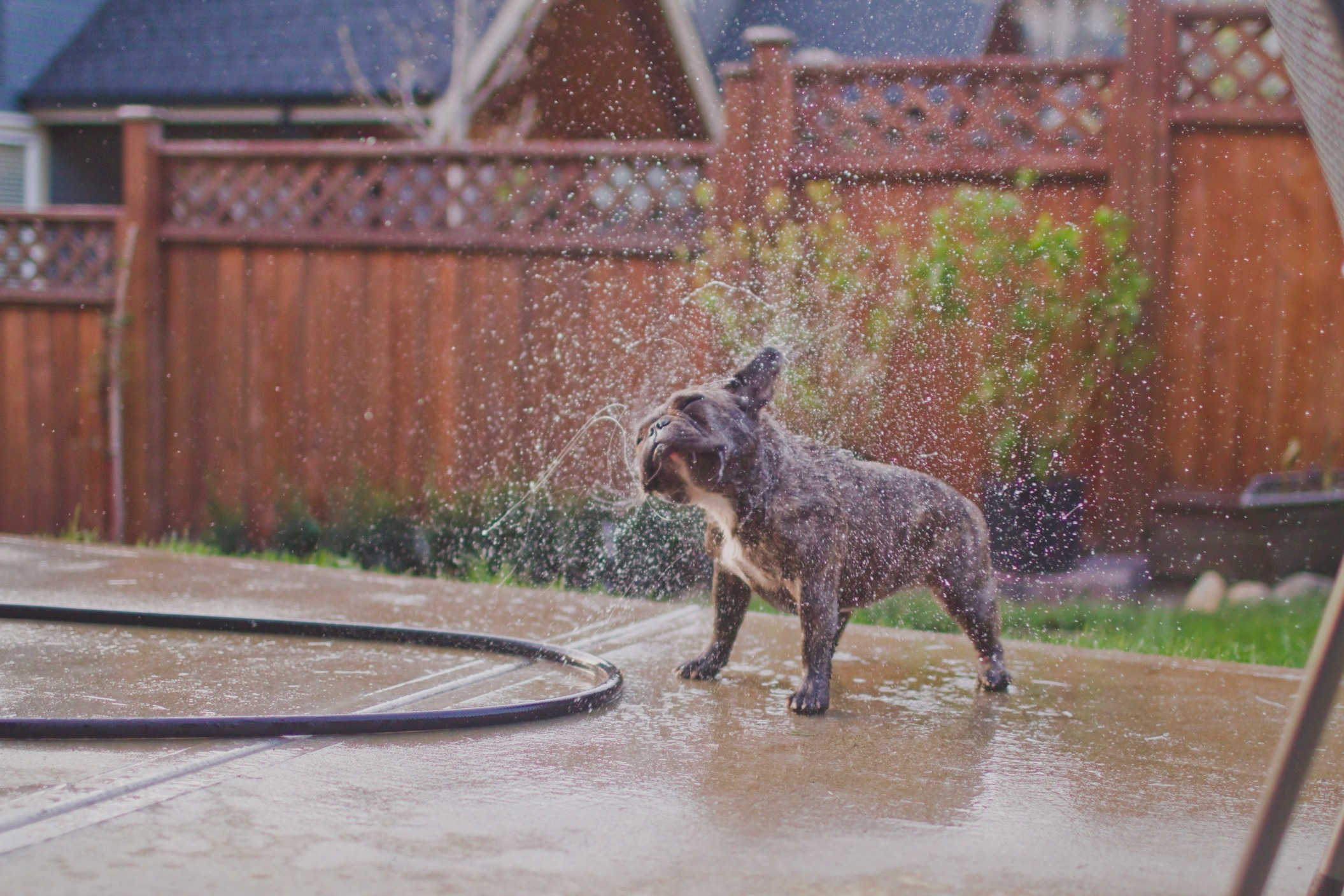 dog cooling off with water hose