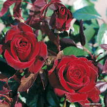 Photo: Edelrose Schwarze Madonna®, Züchter: W. Kordes'  Söhne 1992