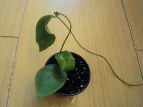 Photo: Hoya mindorensis amarilla