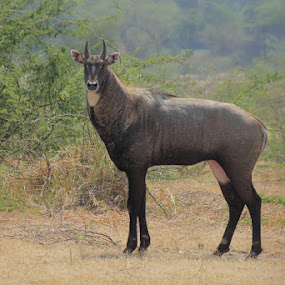 Blue bull male by Dr. Mahendra singh Rathore - Animals Other Mammals