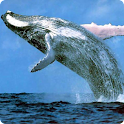Humpback Whale live wallpaper icon