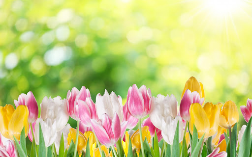 Tulips Live Wallpaper Plant
