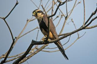 Photo: Aplomado Falcon