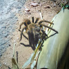 Aranha caranguejeira