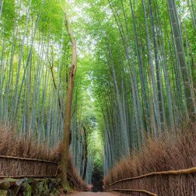 Way of bamboo by Ryusuke Komori - Landscapes Forests ( bamboo, japan, kyoto, green, nara, way )