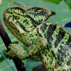 The Indian chameleon