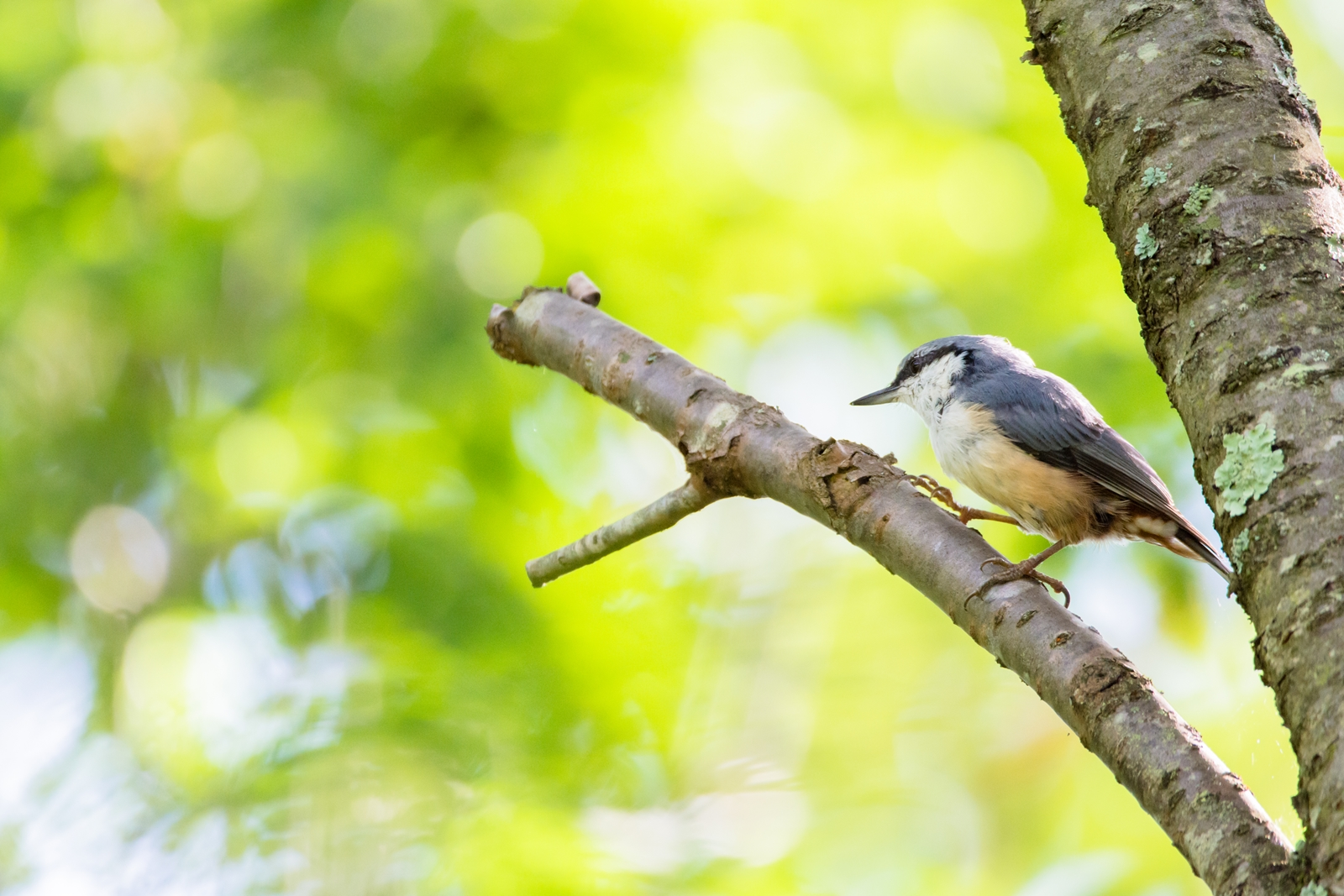 Photo: 先を見る Forward looking.  ふと足を止め 先を見据える 同じようで同じでない 小さな変化が 時の流れを教えてくれる  Eurasian nuthatch. (ゴジュウカラ)  #birdphotography #birds #cooljapan #kawaii #nikon #sigma  Nikon D7200 SIGMA 150-600mm F5-6.3 DG OS HSM Contemporary