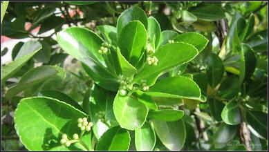 Photo: Str. Andrei Muresanu, spatiu verde - Voiniceriu (Euonymus japonicus...)
