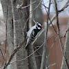 Downey Woodpecker