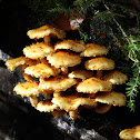 Sharp Scaly Pholiota