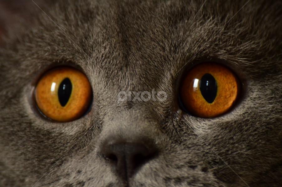 British cat - Philip by Roman Kolodziej - Animals - Cats Portraits ( look, face, cat, eyes. closeup,  )