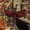 Red Grasshawk, Common Parasol or Grasshawk Dragonfly