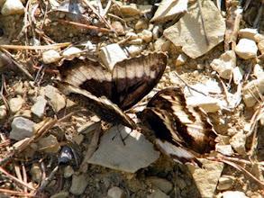 Photo: Dans le sous-bois, la parade d'amour des papillons sylvandres.
