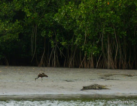 Photo: Limpkin and crocodile at low tide on the Rio San Cristobal; La Tovara boat ride