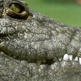 Croc watch by Sandra Moreira - Animals Reptiles (  )