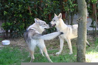Photo: antares-aisha sibillini wolf