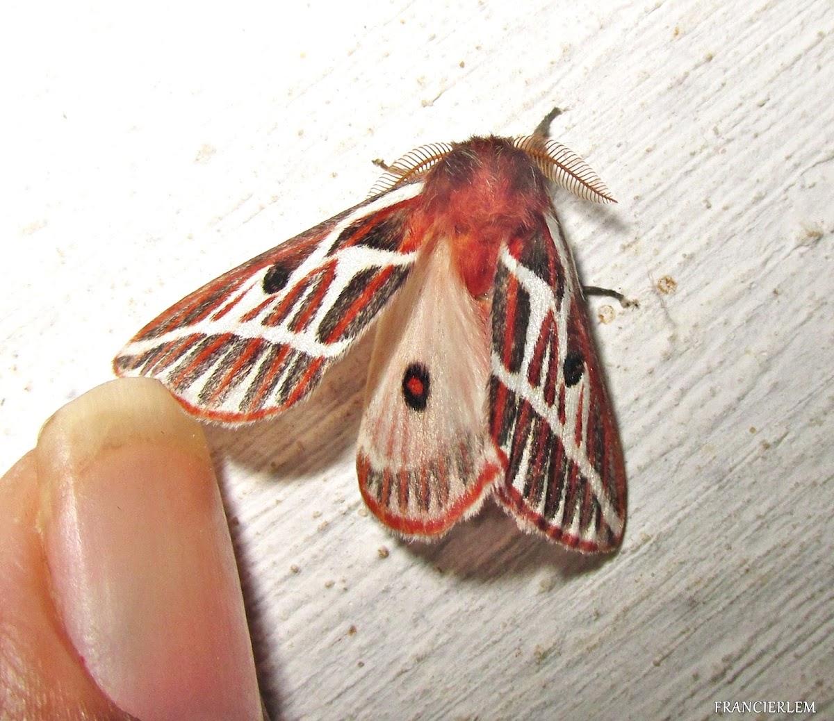 Eubergia argyrea