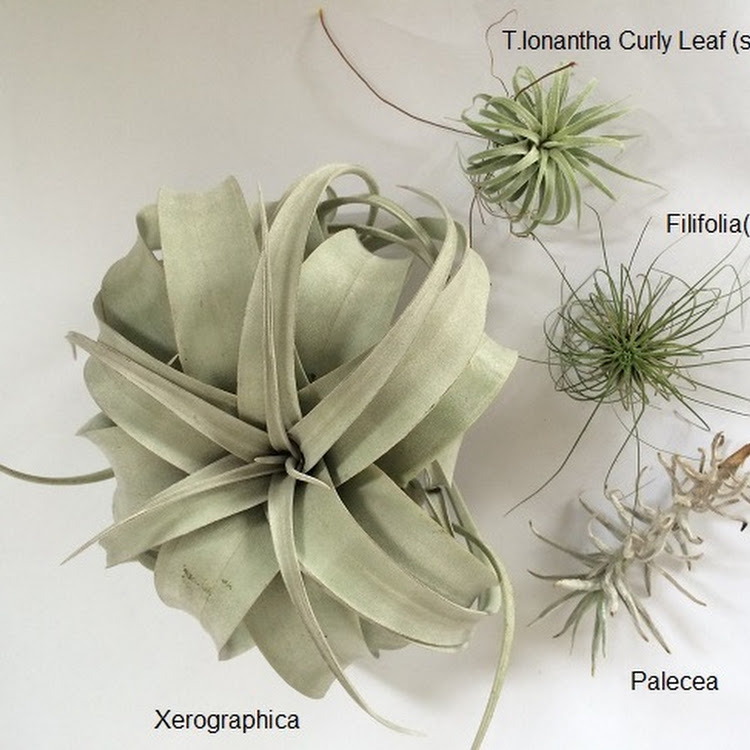 Air Plant - Combo 100 by AquaticsForevers Enterprise