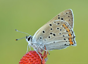 Photo: Cuivré Fuligineux / Argus Myope, Lycaena Tityrus http://lepidoptera-butterflies.blogspot.com/ https://www.facebook.com/pages/Macro-Photography-Do-Dema/540798875993427