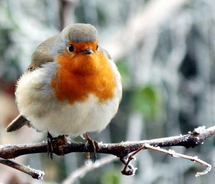 Robin di kaira