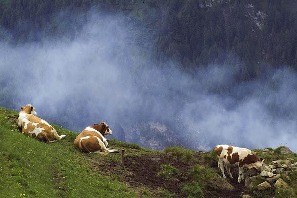 Mucche alpine di Fabrizio Franceschi