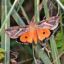 Dot underwing moth (female)