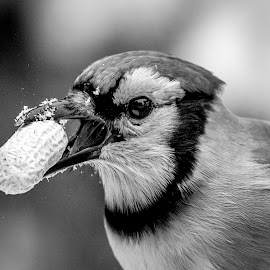 Blue Jay with a Peanut by Debbie Quick - Black & White Animals ( debbie quick, nature, blue jay, songbird, winter, debs creative images, new york, pleasant valley, outdoors, snow, bird, animal, peanut, black and white, wild, hudson valley, wildlife )