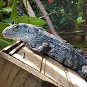 Iguana de Utila