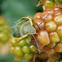 Conchuela bug (5th instar)