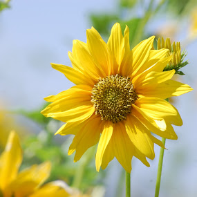 by Amit Suvera - Nature Up Close Flowers - 2011-2013 ( nature, closeups, sunflower, flower )