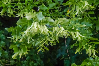 Photo: Linden blooms. They are very fragrant.