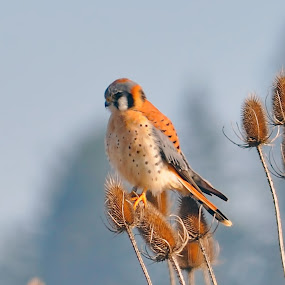 Kestrel by John Broughton - Uncategorized All Uncategorized (  )