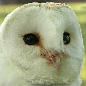 Barn Owl by John More - Animals Birds ( bird, avian, barn owl, owl, portrait )
