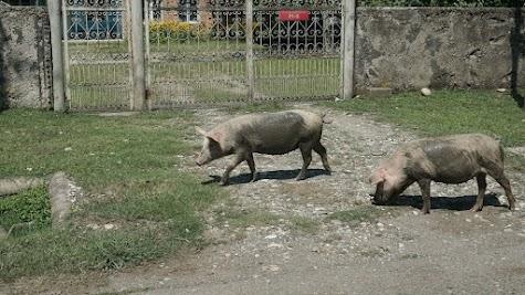Schweine in der Stadt Kutaissi.