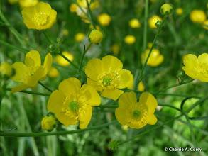 Photo: Common buttercup
