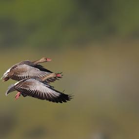 Greylag Goose  by Sharad Agrawal - Animals Birds ( bird, nature, rajasthan, udaipur, wildlife, india, birds, bif )