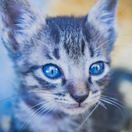 blues by Empty Deebee - Animals - Cats Kittens ( kitten, blue )