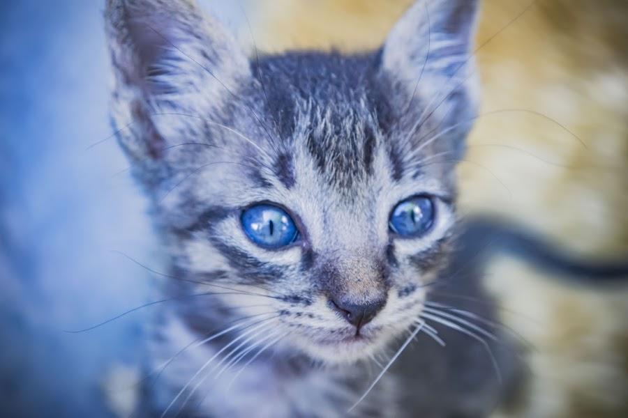 blues by Empty Deebee - Animals - Cats Kittens ( kitten, blue )