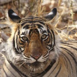 Royal Bengal Tiger by Kedar Banerjee - Animals Lions, Tigers & Big Cats ( potrait, ranthambore, india, tiger, wildlife )