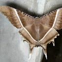 Tropical Swallowtail Moth