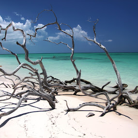 dead trees by Maurice Schutgens - Landscapes Beaches ( sand, beaches, wood, white, trees )