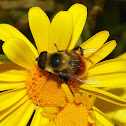 Bumblebee Mimic Flower Fly