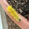 American Dagger Moth Caterpillar