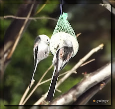 Photo: Őszapó (Aegithalos caudatus)  Kis termetű, hosszú farkú madárka. Nevét fehér színű fejéről kapta. Viselkedése, mozgása cinegeszerű, innen ered régi, 'rudascinege' neve.