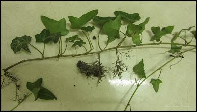 Photo: Iedera englezeasca (Hedera Helix), lastar de din Turda, Calea Victoriei, Nr.17, spatiu verde, plantat pe Str. Salinelor, la curte - 2019.06.01