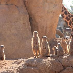 muskrat by Joseph Escopin - Animals Other Mammals ( mammals, animals, dogs watching giraffes, curious mammals, muskrat )