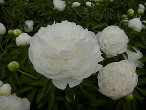 Photo: 白妙 純白の巨大輪で花の美しさに加え芳香強く耐寒性がある