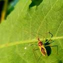 Leafhopper assassin bug
